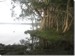 Tea Trees next to the Lake